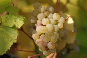 La uva riesling es una de las más populares en la preparación de vino.