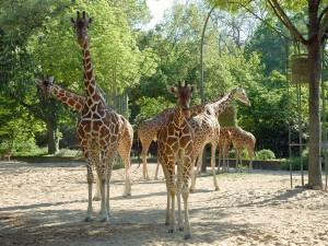 Jirafas en el Zoológico de Colonia.
